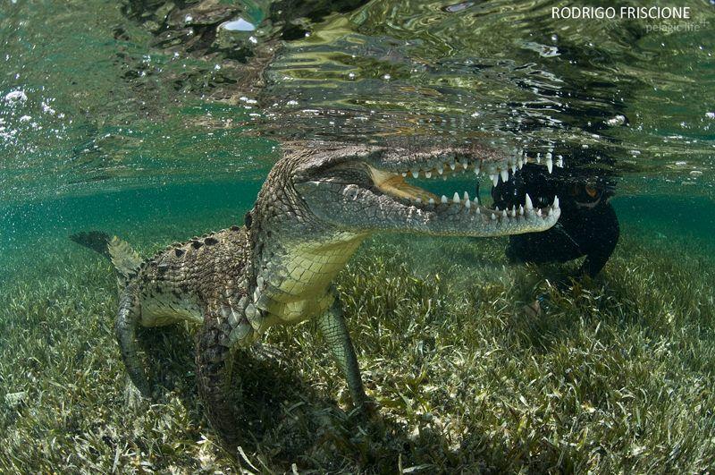 Fotograaf zwemt naast krokodil voor foto