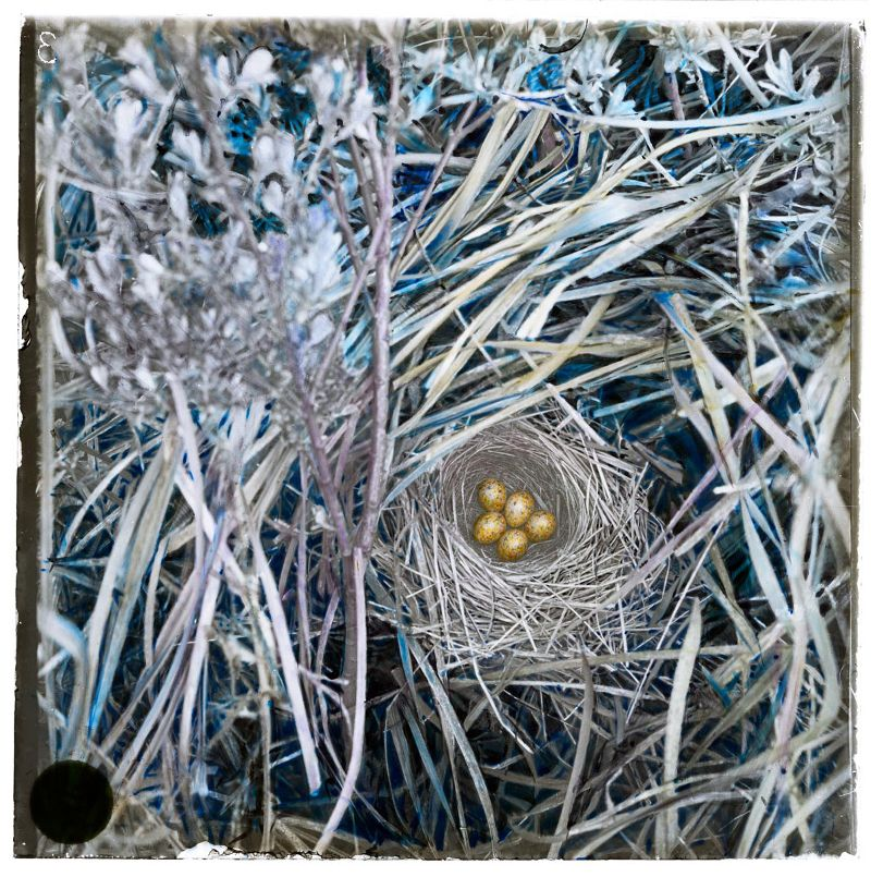Nest Grauwe Klauwier, waarschijnlijk Noord-Holland (1907-1916) © Adolphe Burdet / Nederlands Fotomuseum
