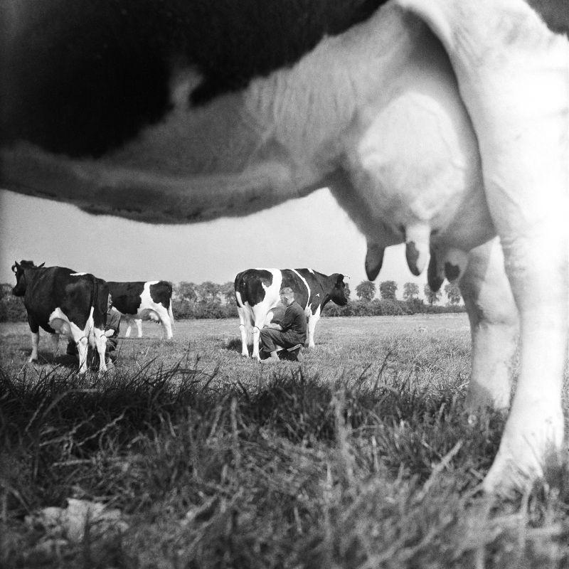 Met de hand melken zwartbont vee (1944) © Cas Oorthuys / Nederlands Fotomuseum