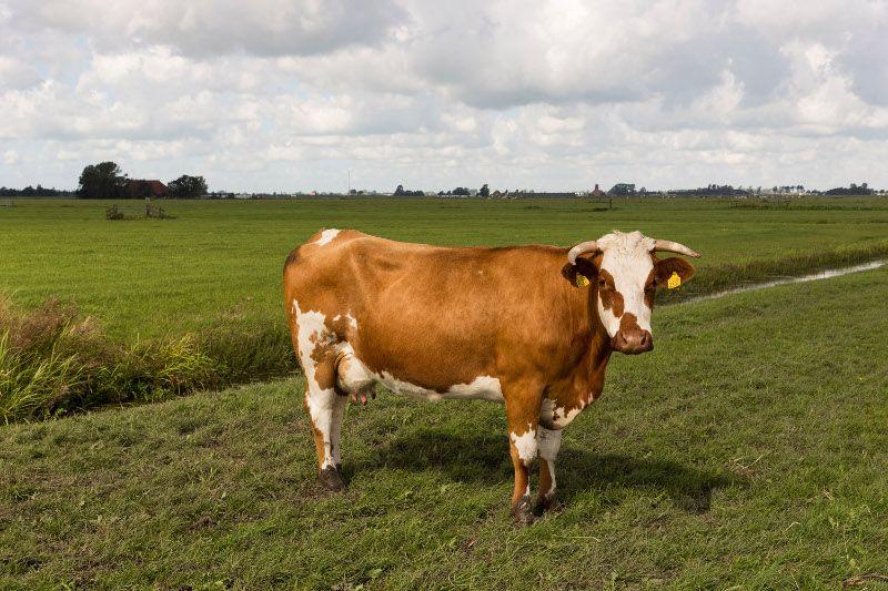 portret van koe buiten Hans van der meer