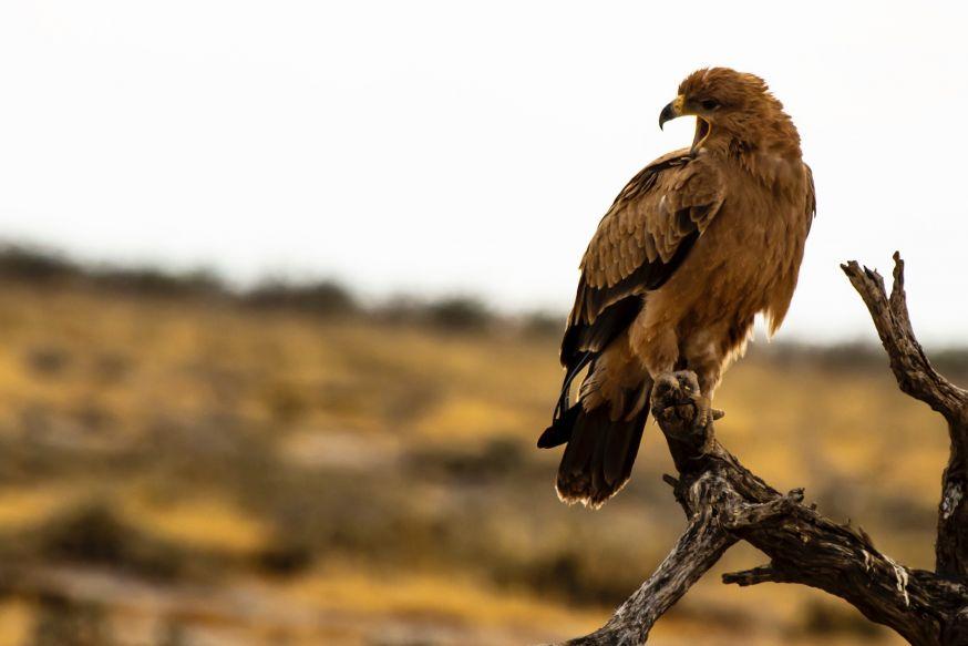 Roofvogels, roofdieren, roofvogel, wildlife, wild dieren
