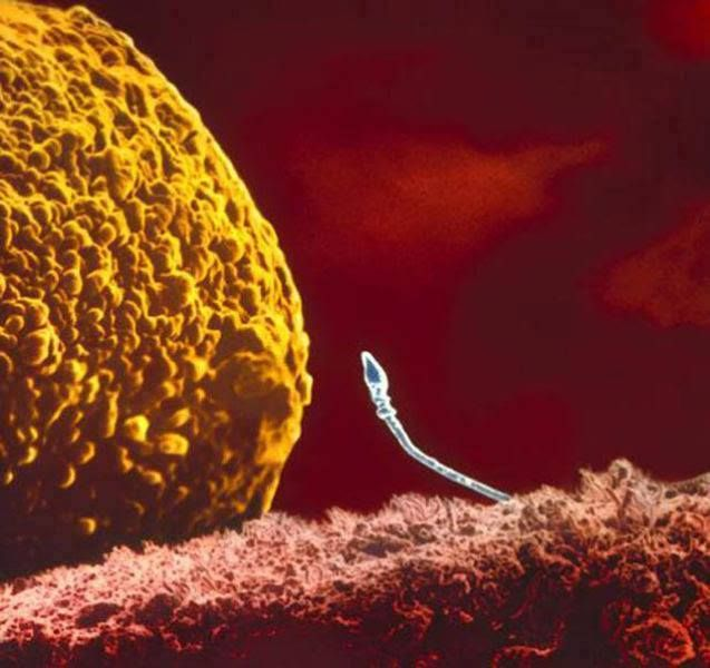 Ontwikkeling van foetus vastgelegd