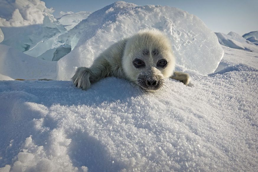 Schattige zeehonden pup