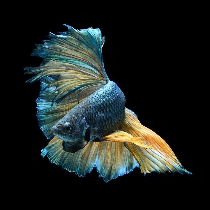 Visarute Angkatavanich maakt prachtige foto's van vissen