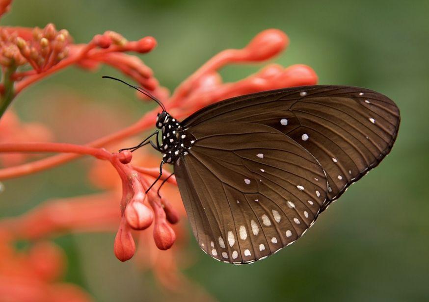 MAcrofotografie, vlinder
