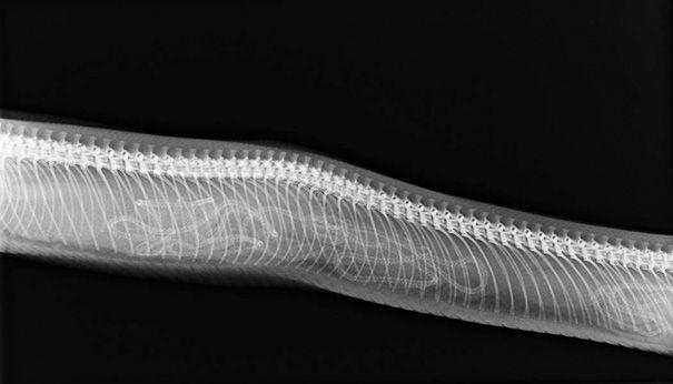 Röntgenfoto's van zwangere dieren